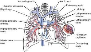 Anatomy And Physiology Of Lungs Circulatory System Wikipedia
