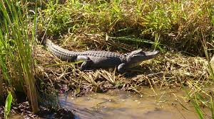 Alabama wildlife tours images 4 of the best places to spot alligators in lower alabama jpg