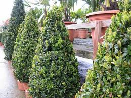 Laurel Topiary - wholesale topiary and hedging nursery based in hampshire