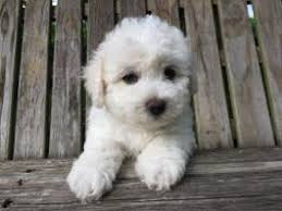 bichon frise breeders in pa bichon frise puppies for sale in pa lancaster puppies