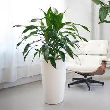dracaena dracaena art plant potted in elegant rondo planter