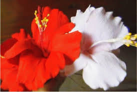 which state has a hibiscus how to make paper flowers hibiscus hibiscus rosa sinensis