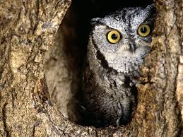an owl peeking through the in the tree animals wallpaper