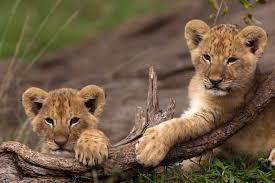 game of lions big cat week episode nat geo wild