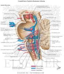 Brain Stem Anatomy Nerve Nuclei In Brainstem Schema