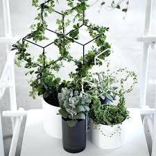 indoor vine plant indoor vine plants the best indoor vines and climbers that are