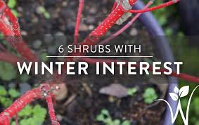 6 shrubs woody ornamentals for winter interest westwood