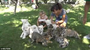 white and siberian tiger cubs let in taigan safari park