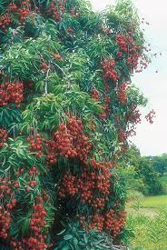 the 25 best lychee tree ideas on lychee fruit how to