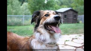 australian shepherd and beagle mix australian shepherd dachshund mix youtube