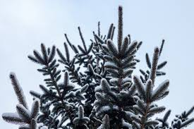 free images branch snow winter leaf pine weather