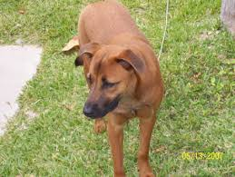 belgian shepherd labrador cross piper the belgian malinois rhodesian ridgeback mix dogs