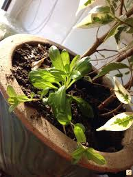 In House Plant Staurogyne Grown In House Plant Pot No Watering Uk Aquatic Plant