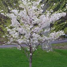 4 pink flowering ornamental cherry trees the home depot community