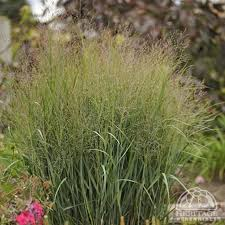 13 best drought tolerant waterwise ornamental grasses images on