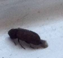 Tiny Gray Bugs In Bathroom - natureplus please help me identify tiny black bugs found in