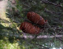 abies grandis grand fir growiser net