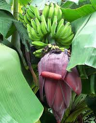 rajapuri banana ornamental banana tree willis orchards