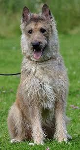 belgian sheepdog apartment belgian sheepdog the dogington post