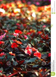 nice flower in garden stock photo image 26846960