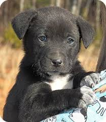 australian shepherd lab mix for sale 57 best puppy love images on pinterest animals puppies and