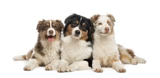 cost of australian shepherd dogs tay valley vets veterinary practice in perth for pets and