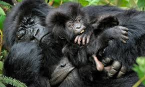 why do gorillas build new nests every night howstuffworks