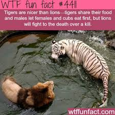 best 25 tiger facts ideas on facts about