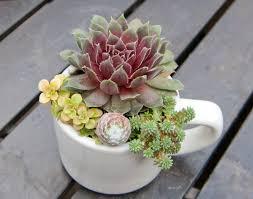 succulent arrangement in white espresso cup by idreamofsucculents