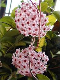 Indoor Vine Plants Plant Id Flowers And Foliage Wax Plant Florida Master Gardener