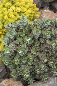 13 succulents that are native search monrovia