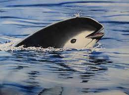 the fight to save the vaquita u2013 national geographic society blogs