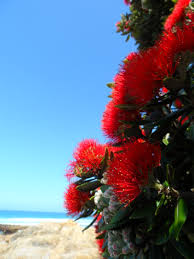 in december see the flowering christmas trees the pohutukawa in