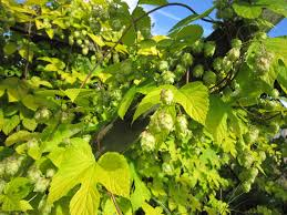 82 best humulus images on pinterest garden garden ideas and