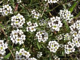 alyssum flowers sweet alyssum carpet of snow lobularia maritima wildflowermix
