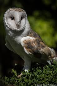 Barn Owl Photography British Barn Owl Side View U2013 Caroledowd Com Photographer