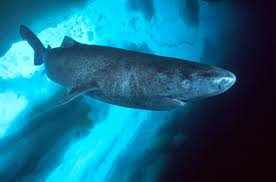 Narval vs Tubarão da Groelândia  Images?q=tbn:ANd9GcRLjjNVD9YnCX-bzvzExtT_01h9hoCT2w7SvDUHhstQXSugEZXkSQ