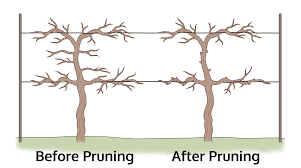how to prune grapes how to trim a grapevine