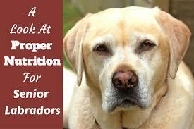 proper nutrition for senior elderly labradors