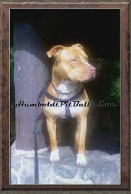 american pitbull terrier dog price history sorrells garners crenshaw woods snooty show quality apbt