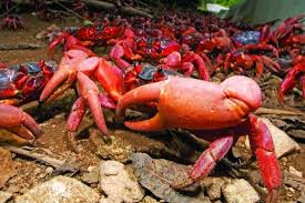 red crabs on their migration towards the ocean on christmas island