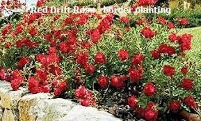 drift roses drift