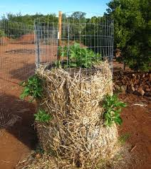 Container Gardening Potatoes - best 25 baled sweet potato ideas on pinterest