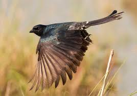 african bird shouts false alarms to deceive and steal study shows