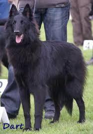 belgian sheepdog national specialty 2018 berger belge u0026 amis dkbs specialty 19 05 2013 best female