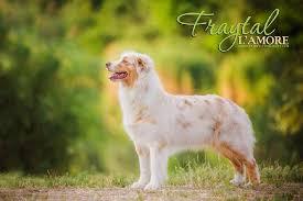 penn y caerau australian shepherds australian shepherd fraytal u0027 l u0027 amore id 14847