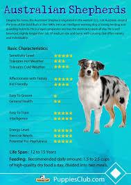 australian shepherd needs puppies club puppies breeds puppies for sale