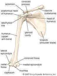 Human Anatomy Skeleton Diagram Best 10 Skeletal System Ideas On Pinterest Anatomy Anatomy Of