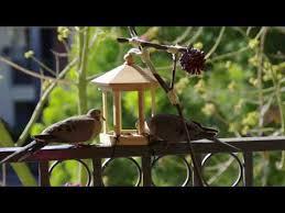 balcony birds youtube