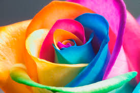 multi colored roses make your own real rainbow roses